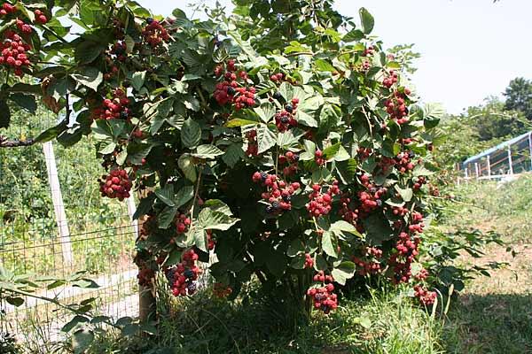 Piante Di Frutti Di Bosco : Coltiviamo lamponi more e ribes a berzo san fermo bg